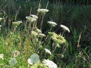 """foto bloemen """"Daucus Carota""""  bloemen in de polder"""